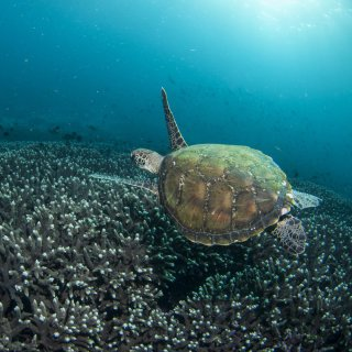 A green turtle swimming over hard corals. Photo by Nigel Marsh