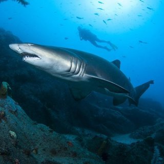 Grey nurse shark and diver. Photo by Nigel Marsh