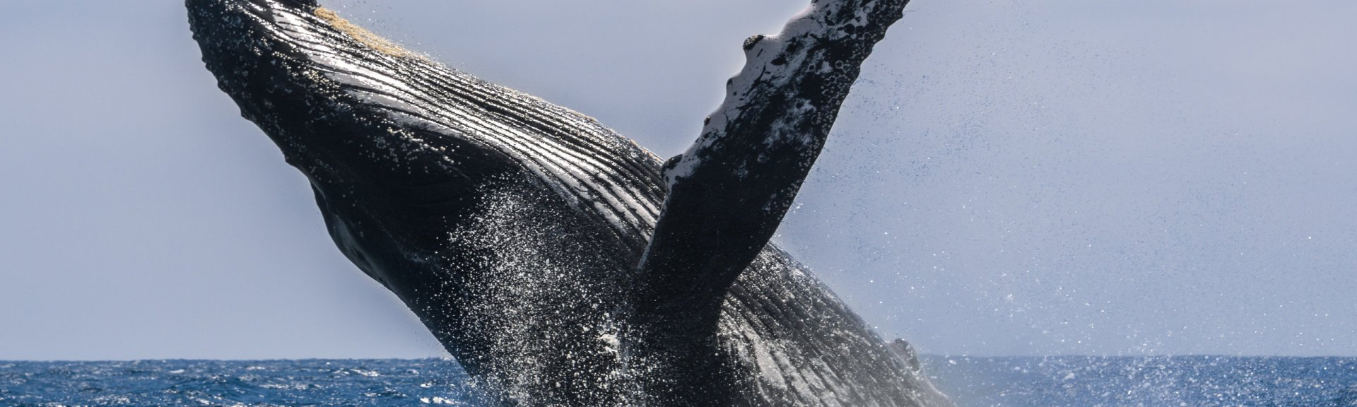 A breaching humpback whale. Image: Shutterstock.