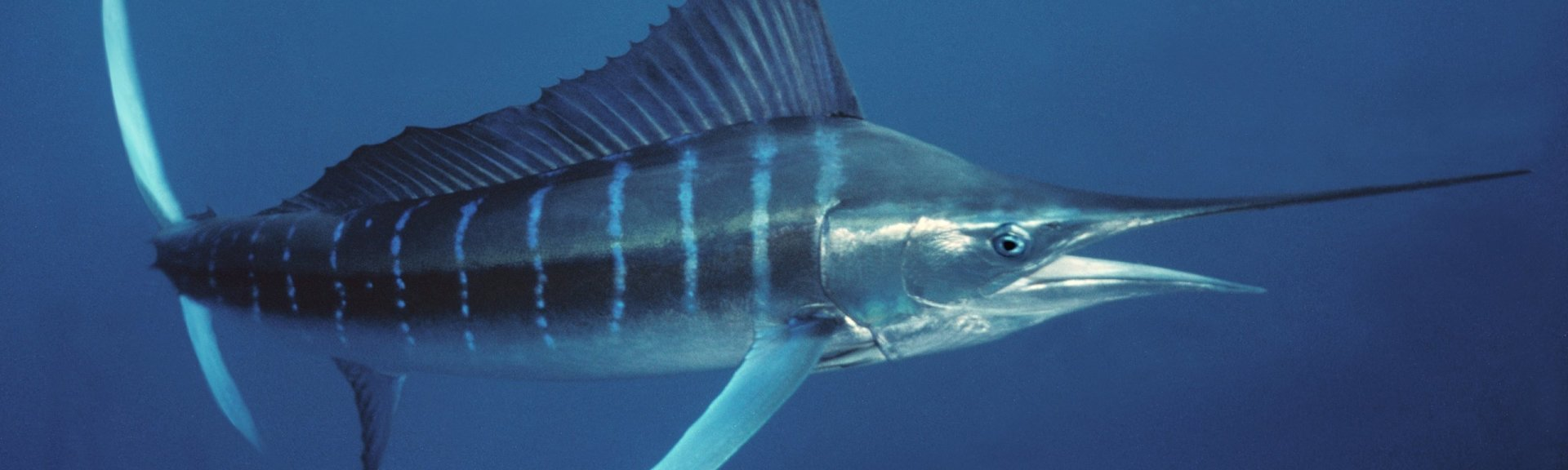 Marlin in the Coral Sea