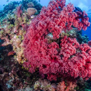 Pink coral. Copyright: Mike Ball Dive Expeditions. Photo by Howard Wormsley.