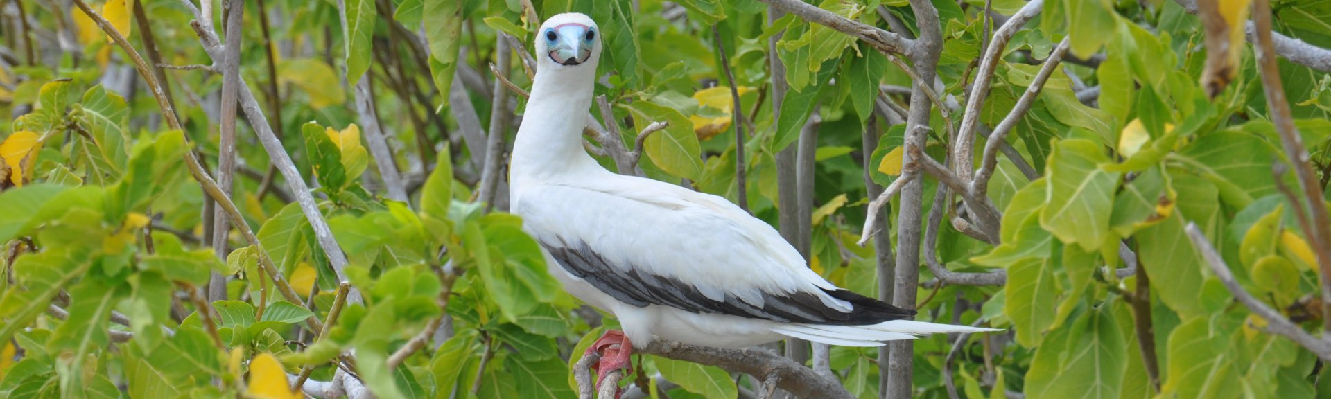 Red-footed booby in a pisonia tree on North-east Cay (one of the Herald Cays in the Coral Sea Marine Park)