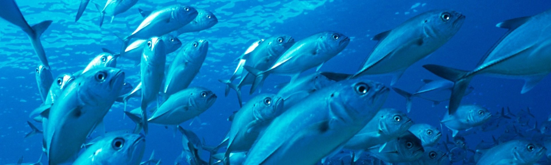 Schooling bigeye trevally in the Coral Sea.