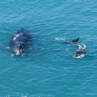 Southern right whale with calf in the Great Australian Bight Marine Park. Photo by Georgina Steytler