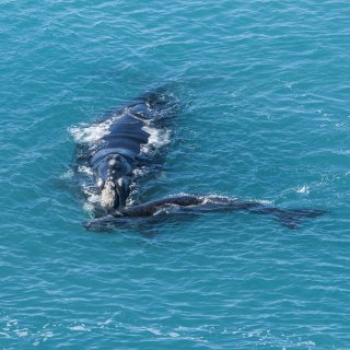 Southern right whale with calf.