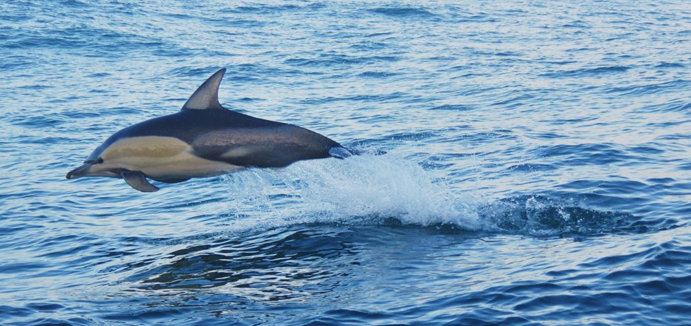 A Common Dolphin jumping out of the water
