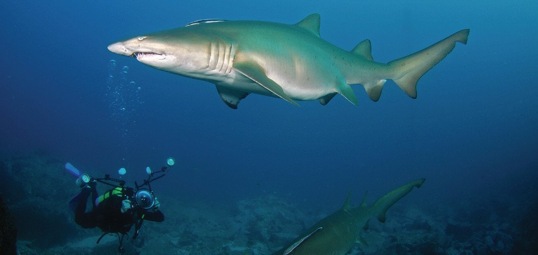 Two grey nurse sharks and a diver filming at the Solitary Islands Marine Park
