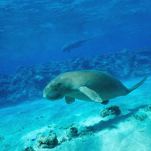 Dugong. Photo by Great Barrier Reef Marine Park Authority.
