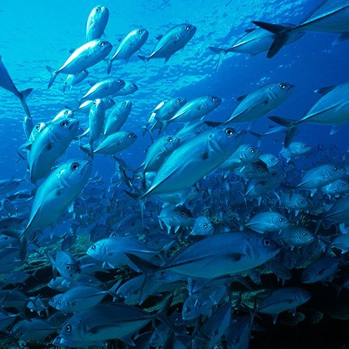 Schooling bigeye trevally in the Coral Sea