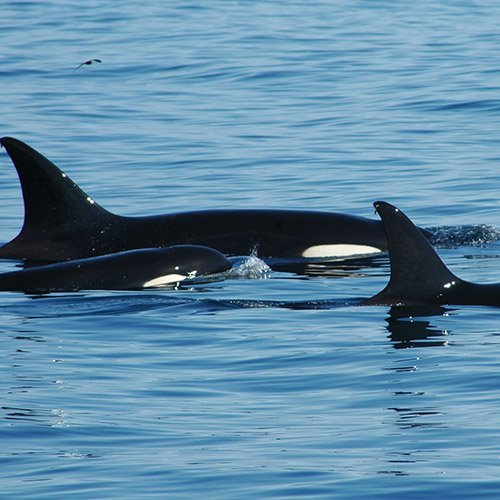 Orcas at Bremer Marine Park. Photo by David Govoni.