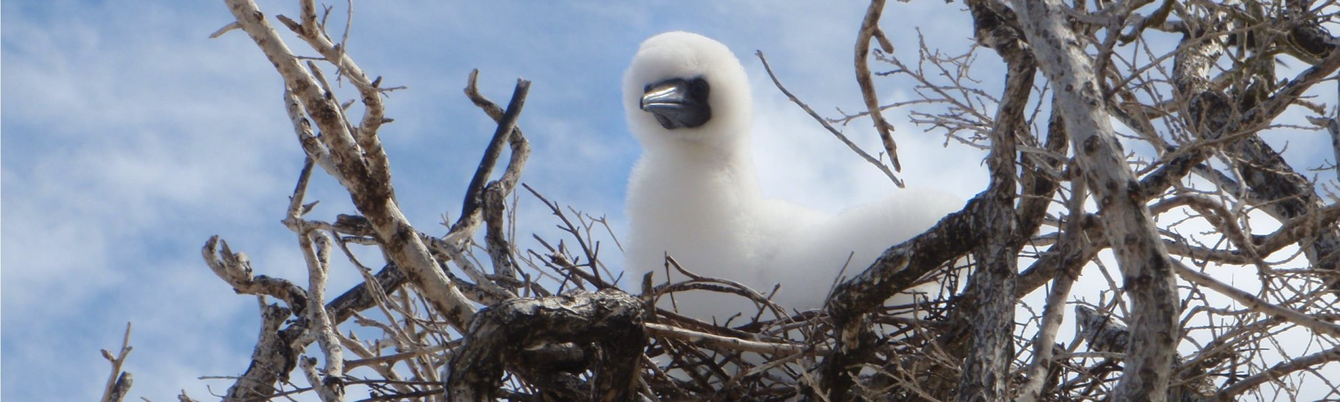 Red-footed booby chick. Photo: Parks Australia
