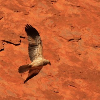 Brown falcon flying against a red rock face. Photo: Corinne Le Gall