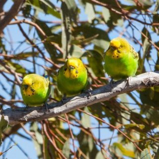 Budgerigars. Photo: David Cook / CC BY-NC 2.0