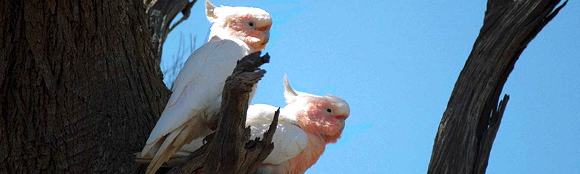 Pair of Major Mitchell's cockatoos. Photo: Brian Furby