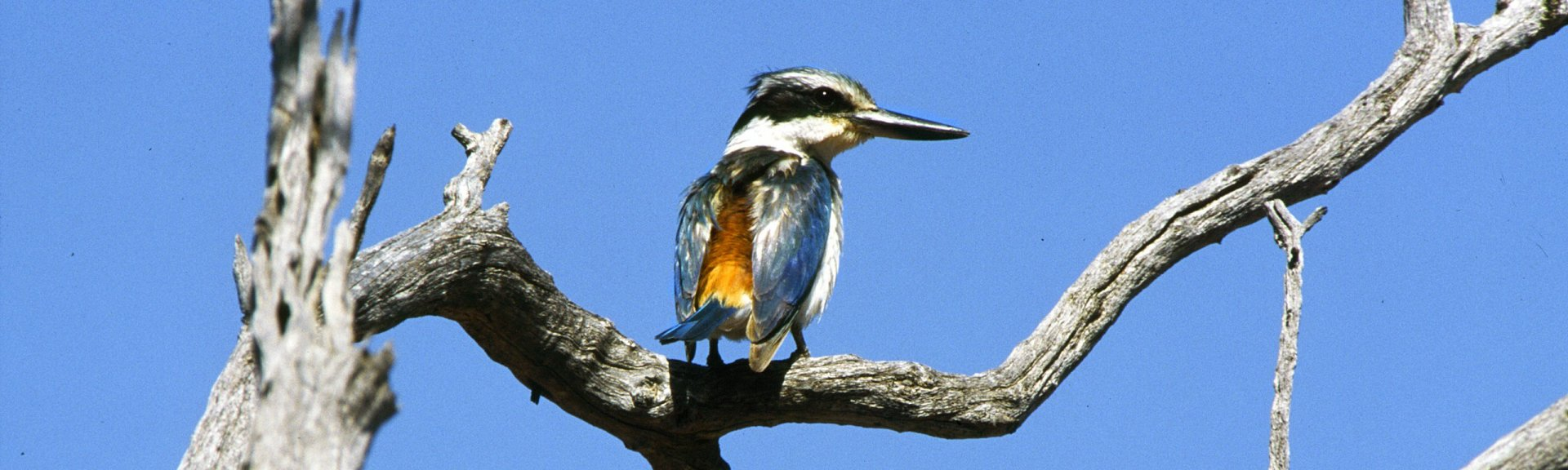Red-backed kingfisher. Photo: Brian Furby