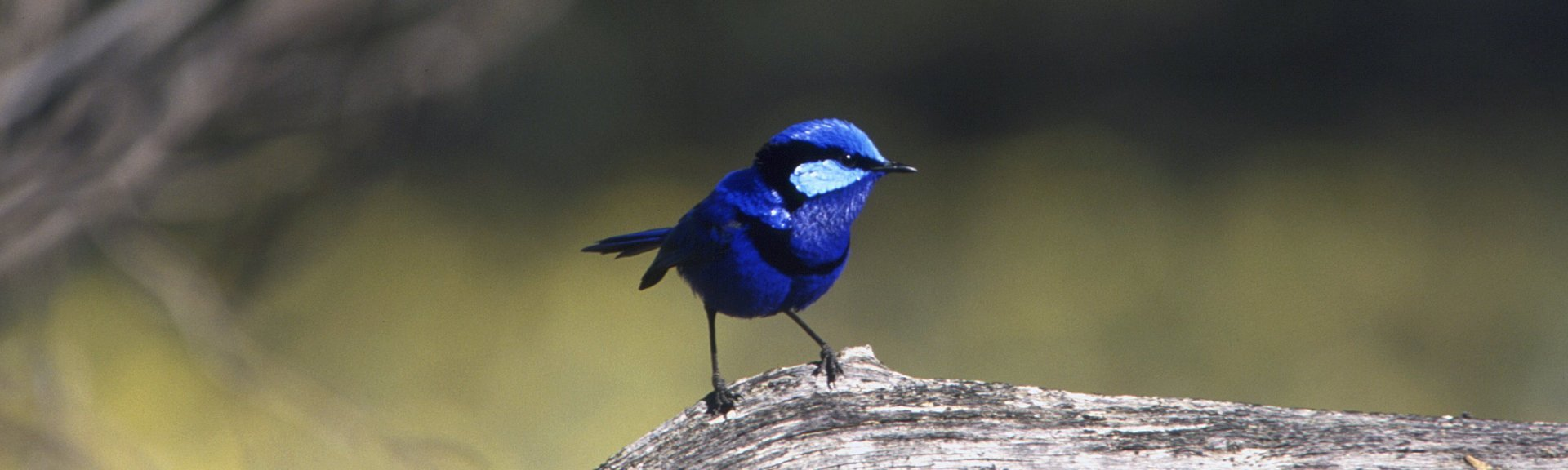 Male splendid fairy-wren with breeding plumage. Photo: Brian Furby