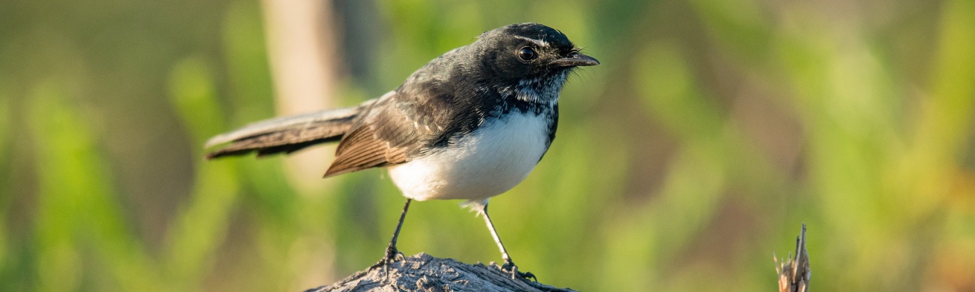 Willy wagtail. [Photo](https://www.flickr.com/photos/paul_e_balfe/34012707775): [Paul Balfe](https://www.flickr.com/photos/paul_e_balfe/) / [CC BY 2.0](https://creativecommons.org/licenses/by/2.0/)