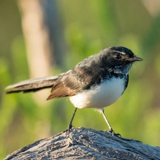 Willy wagtail. Photo: Paul Balfe / CC BY 2.0