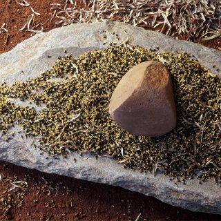 A tjiwa (grinding stone) with seeds on it. Photo: Tourism Australia