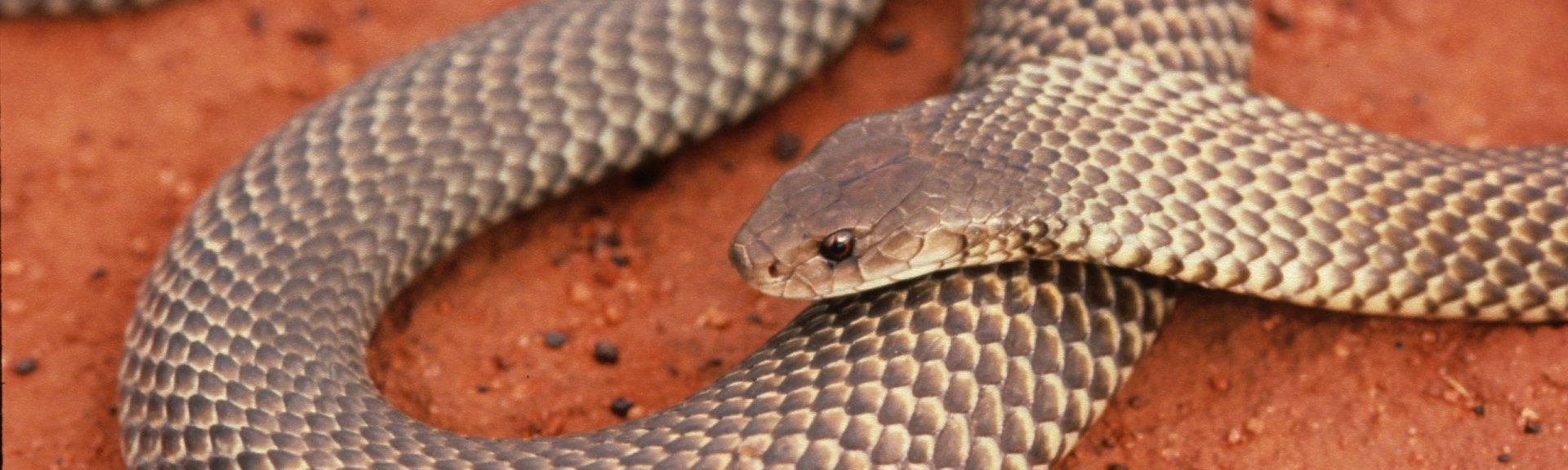 King brown snake. Photo: Stanley Breeden