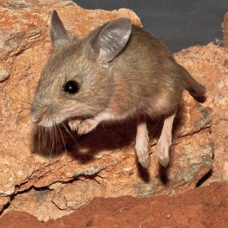 Spinifex hopping mouse on the move. Photo: Michael Sale / CC BY-NC 2.0
