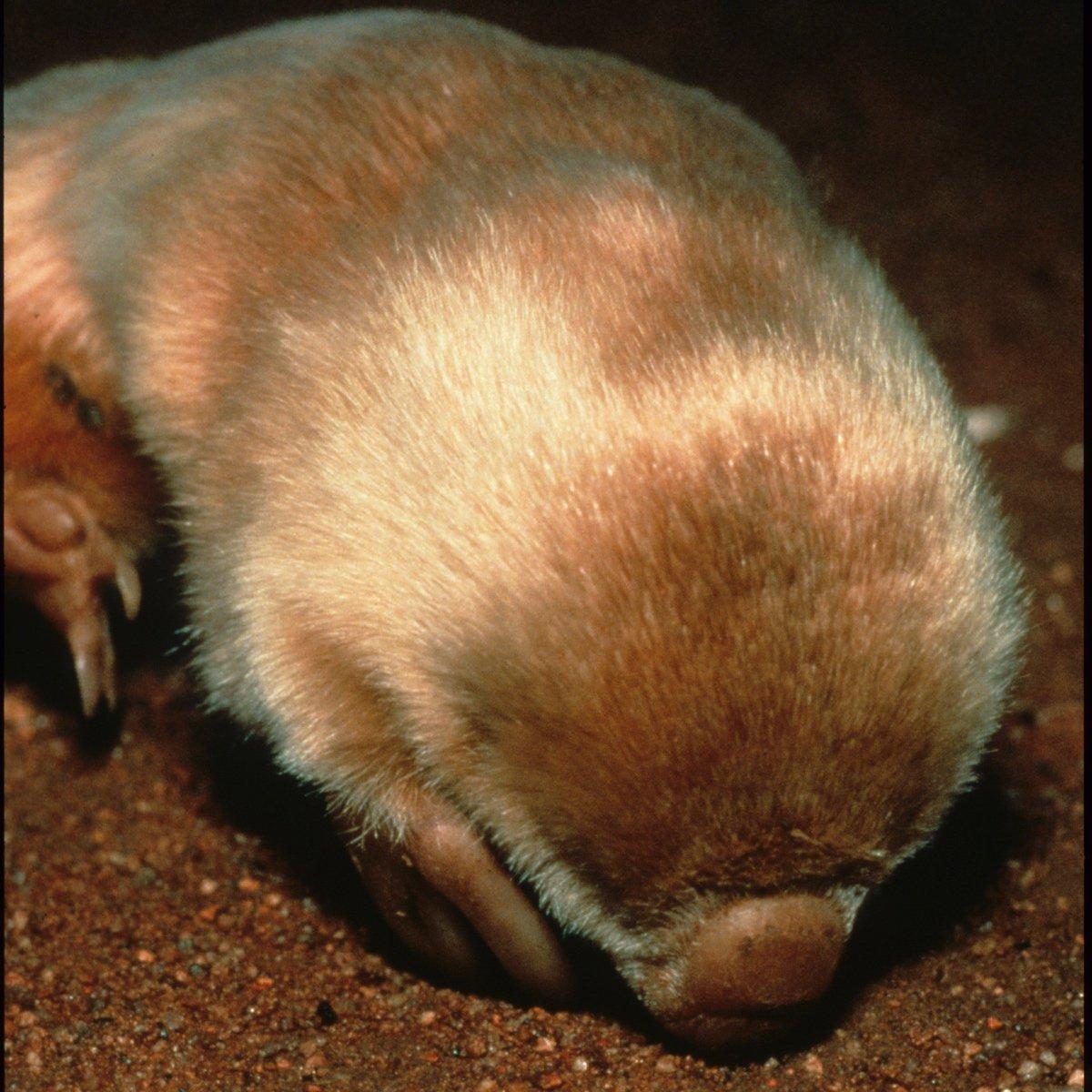 Southern marsupial mole | Uluru-Kata Tjuta National Park
